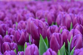 Purple Flag каталог тюльпанов U2014 тюльпаны оптом в беларуси