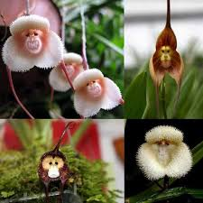 monkey orchid best 25 monkey orchid ideas on flowers