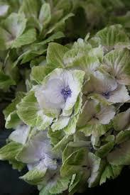 144 best hydrangeas images on pinterest hydrangeas flowers and