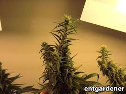what are marijuana foxtails is foxtailing on buds good or bad