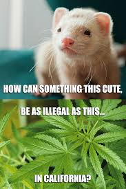Ferret Meme - exactly ferrets are way cuter way cooler and way safer flickr
