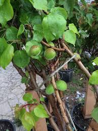 nj tree foundation hosts 60 fruit tree giveaway in camden nj