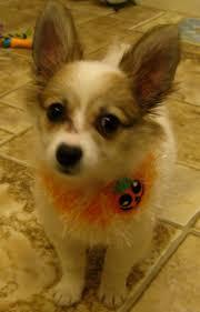 american eskimo dog small 47 best hybrid dogs images on pinterest american eskimo dog the
