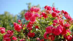 red rose flower garden wallpaper 4k wallpapers