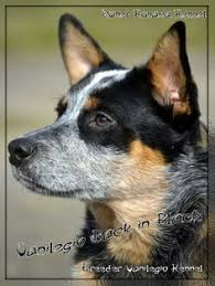 australian shepherd 7 mesi australian cattle dog puppies australian 2bcattle 2bdog 2bpuppy
