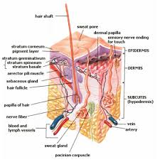Human Anatomy Integumentary System Integumentary System Development Boundless Anatomy And Physiology