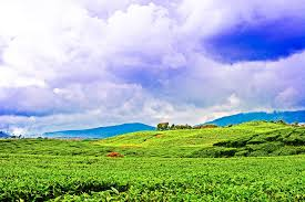 Teh Kayu Aro wonderful indonesia kayu aro tea plantation of jambi