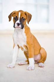 2 types of boxer dogs best 20 boxer dog names ideas on pinterest boxer boxer puppies