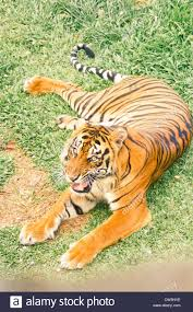 a tiger with one utated leg is believed to be victim of
