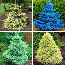 50pcs blue spruce tree seeds evergreen picea pungens glauca