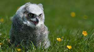 snowy owl gzsihai com