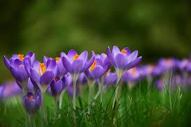 image of spring flowers crocus spring flowers free photo on pixabay