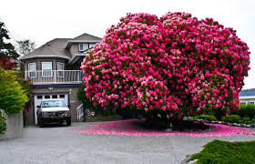 amazing 125 year rhododendron tree in ladysmith
