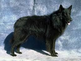 belgian sheepdog craigslist 39 best belgian sheepdog images on pinterest belgian shepherd