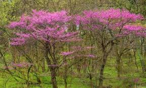 amazing trees in bloom for a spectacular garden