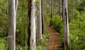 australia s tallest trees are karris australian geographic
