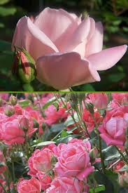 roses for sale buy shrub for sale online from wilson bros gardens