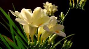 freesia flower freesia flower hd1080p