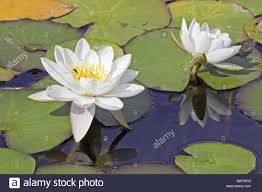 Floating Flowers Water Lily Aquatic Plants Colour Floating Flowers Form Lakes