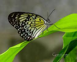 butterfly on leaf gordon kamitomo