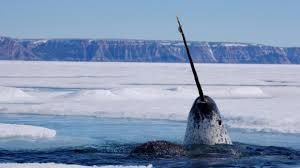 scientists get point of whale u0027s 9ft tusk at last news the