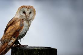 Scientific Name Of Barn Owl Barn Owls Birds Of Prey In The Peak District