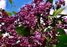 free images tree nature blossom sky leaf purple bloom