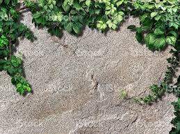 climbing plant on the old stone wall stock photo 524152018 istock