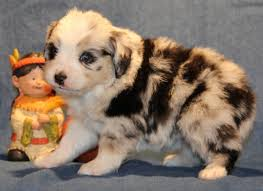 australian shepherd puppies near me toy mini australian shepherd pups for sale co tug yurhart