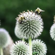 globe thistle seeds echinops perennial flower seeds