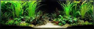 Tropical Aquatic Plants - the key to a successful planted fish tank aquarium tropical fish
