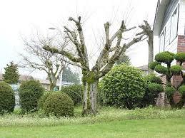 jd tree service tree pruning tips serving seattle eastside