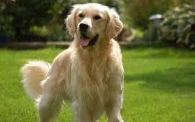 Comfort Golden Golden Retriever Puppies For Sale Golden Retriever Dog Breeders