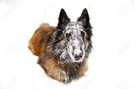 belgian sheepdog massachusetts krw14 1 royalty free photos pictures images and stock photography