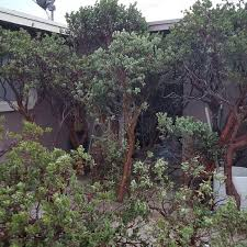 manzanita branches for sale manzanita branches for sale 250 arts crafts in az