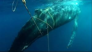 an alarming number of california whales are getting caught in