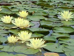 blue lilies nymphaea yellow princess hardy waterlily turtle island waterlilies