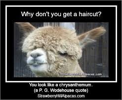 Alpaca Memes - meme pictures strawberry hill alpacas llc