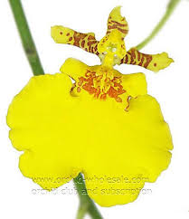 oncidium orchid fresh cut orchid oncidium yellow golden ramsay orchidclub us