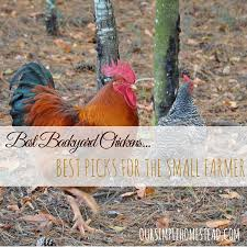 Best Laying Hens For Backyard Backyard Chickens