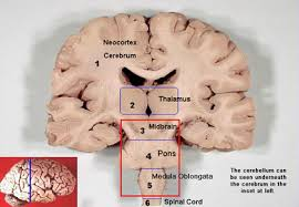 What Is The Main Function Of The Medulla Oblongata Brain Stem Structures Reticular Formation Pattern Generation