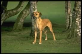belgian shepherd el paso rhodesian ridgeback puppies and dogs for sale in el paso tx usa