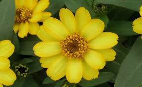 Zinnia Flowers Top 5 Most Beautiful Zinnia Flowers Home So Good