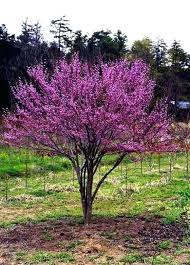 small flowering trees for small gardens evergreen flowering trees