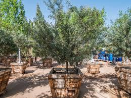 mastic oak tree desert horizon nursery
