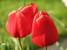 Images Of Tulip Flowers - photos of tulip flowers bbcpersian7 collections