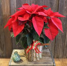 potted poinsettia plant in la jolla ca bloomers of la jolla