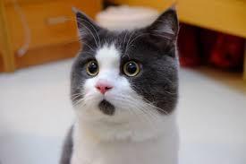 Omg Cat Meme - meet banye the cat how is always surprised aka the omg cat