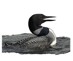 common loon national bird project canadian geographic