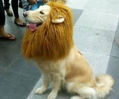 lion dogs pet wig